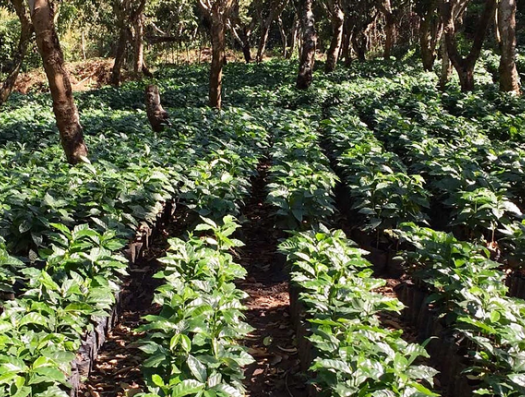 Baechli Family Coffee Farms